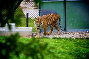 animal-tiger-zoo-4580-825x550