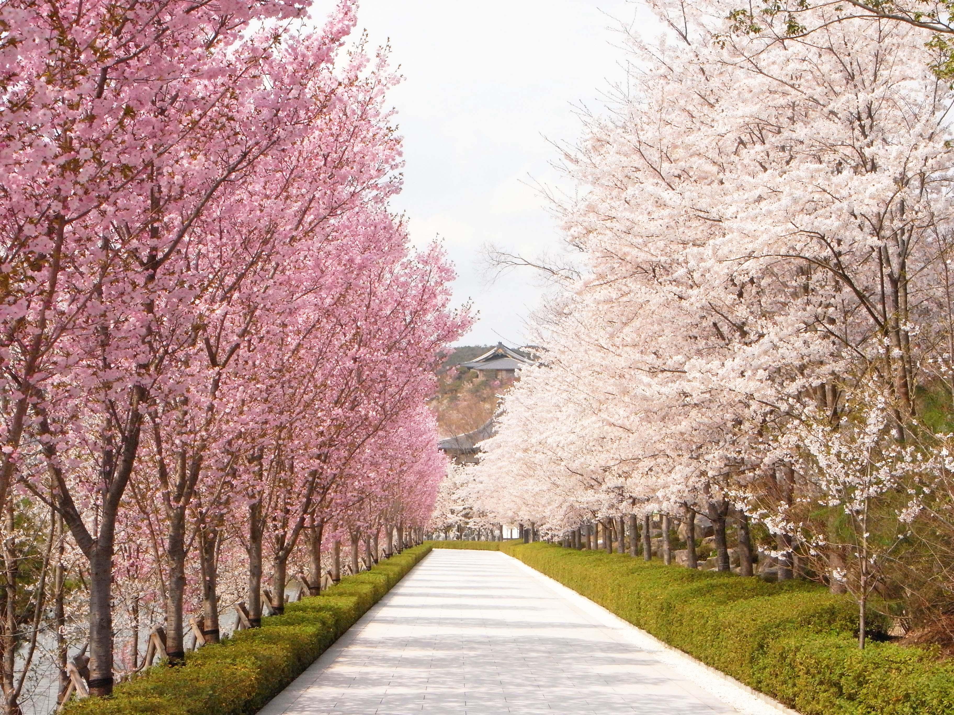2016年4月(平成28年) 桜のシーズン!全国各大学・入学式日程まとめ